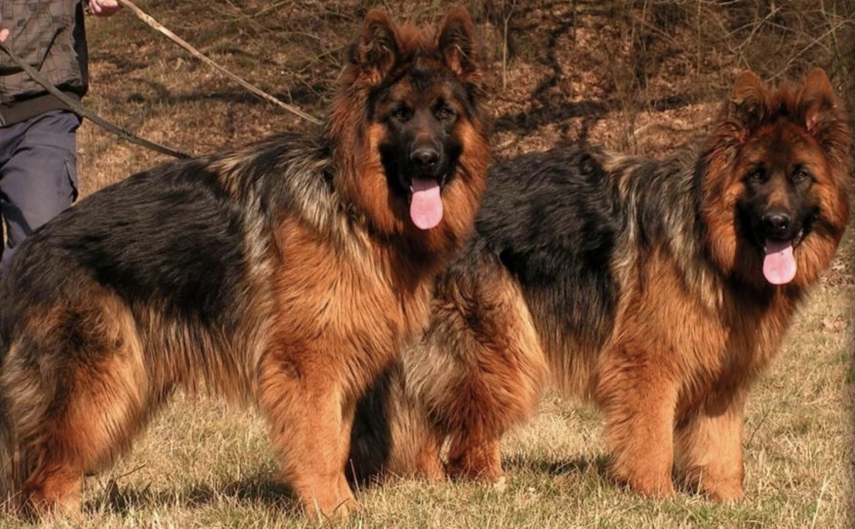 Long Coat Shepherds